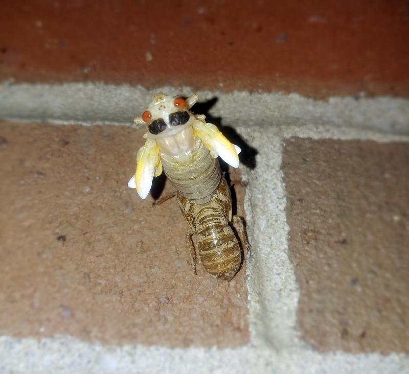 Cicada-2440728_1280